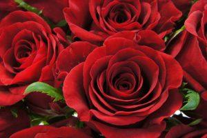 情熱の赤いバラ100万本プロジェクト